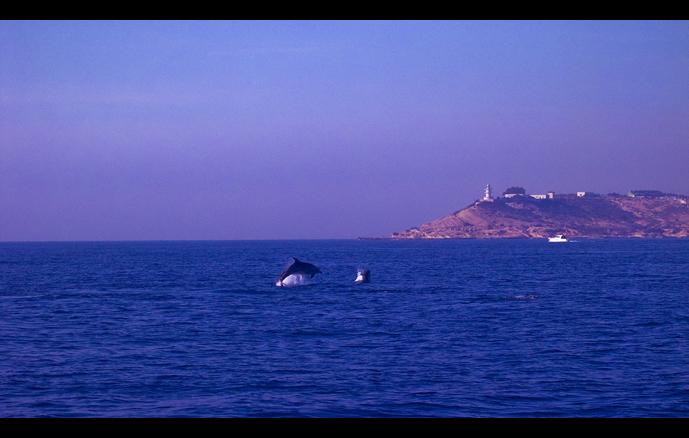 Delfines en el Cabo de las Huertas
